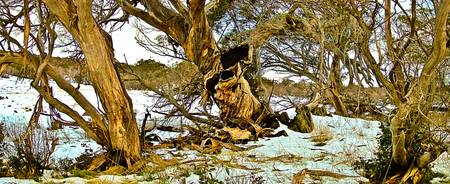 Gum Trees In The Snow 02 -NSW