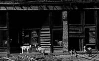Homage, Walker Evans, goats, ghost town