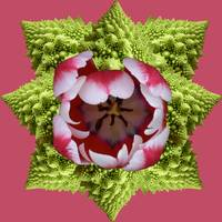 Mandala Red Tulip Star