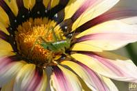 Cricket perches on colorful Daisy