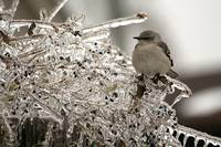 Mockingbird on icy branch