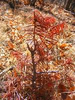 Small, dead looking red pine tree