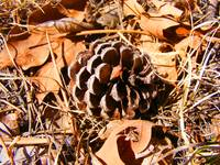 Pinecone, leaves and pine needles