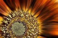 The Centre of a Sunflower