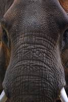 Baby Elephant Face Close Up