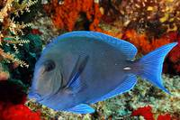 Blue Tang and Corals