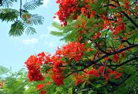 Hawaiian Royal Poinciana Flowering Tree