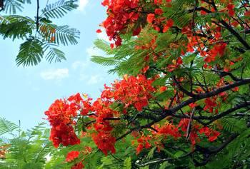 Hawaiian Royal Poinciana Flowering Tree By Lorrie Morrison