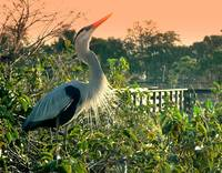 Great Blue Heron Calling -103,681
