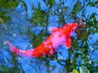 Abstract Koi 4