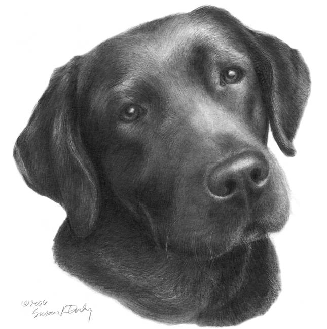 Black or chocolate labrador retriever by sdonley 2006