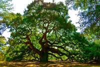 Angel Oak Tree  in Danger