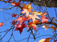 Autumn Leaves against a Turquoise Sky