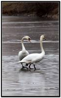 Swans on the ice