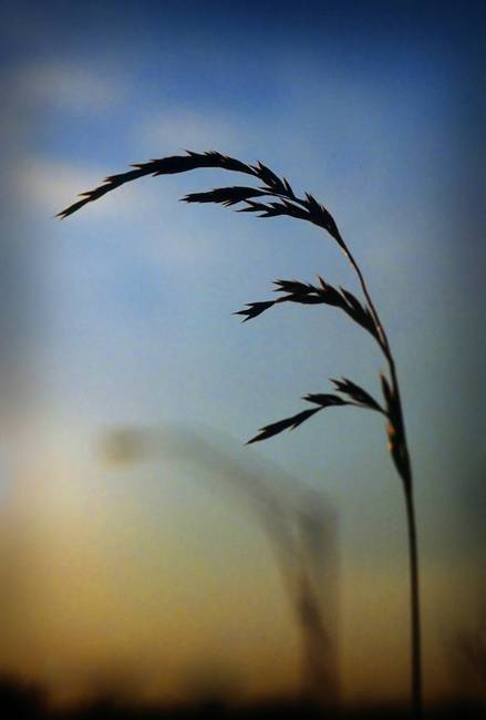 Wheat in Silhouette
