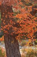 Fall Colors: Lost Maples