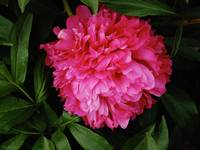 Red Fluffy Peony Flower