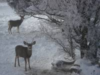 Deer and Ice