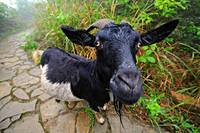 Goat in the Chinese mountains at Hai Long Tun