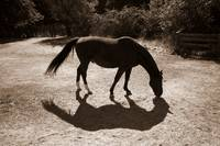 Shadows of a horse