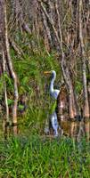 White Heron in the Great Cypress