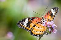Malay Lacewing Butterfly (Cethosia hypsea)