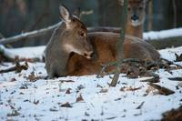 Contented Whitetail Deer by Daniel Teetor
