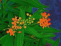 Orange Flowers against a lapis blue sky