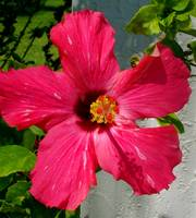 red hibiscus by tracie brown