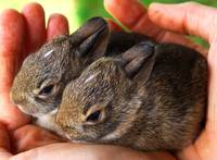 Twin baby rabbits