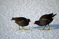 Moorhens on the Ice and Snow (22059-RDA)