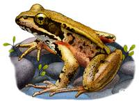 Northern Red-Legged Frog