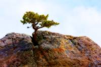 Rocky Mountain  Lone PineTree