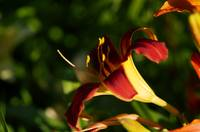 Dark Red and Yellow Lily
