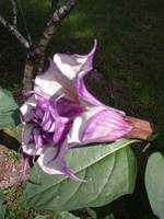 Angel Trumpet Flower Datura Plant