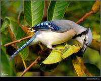 Beauty of the Bluejay