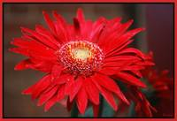 A Beautiful Gerber Daisy!