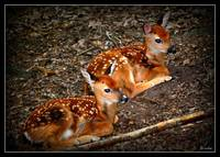 Two Fawns I see
