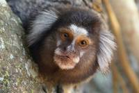 soim or capuchin monkey, Callitrichidae