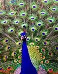 Peacock Art No6