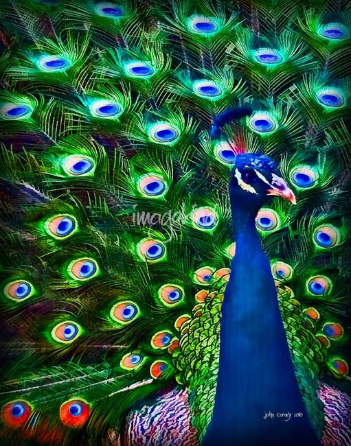 Peacock Art No7