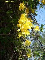 Yellow Flowering Vines