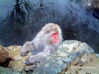 the king of snow monkeys