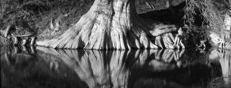 Bald Cypress Roots on Guadalupe River