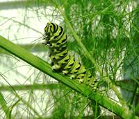 Caterpillar in the Fennel