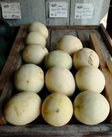 Large Honey Dew Melons