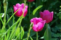 Pink Flowers in Green Grass