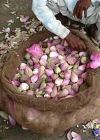 Pink Lotus Buds Nested in a Big Burlap Bag
