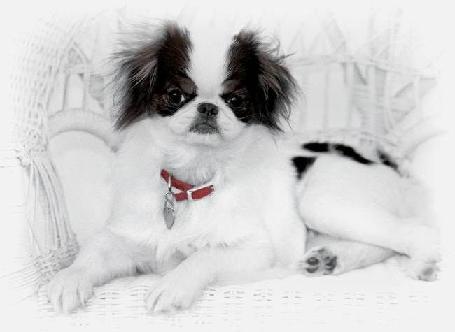 Japanese Chin Puppy on Wicker