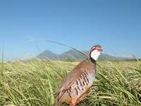 Partridge In French Field